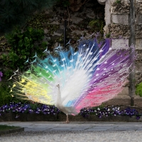 Bilder von Rainbow-Peacocks